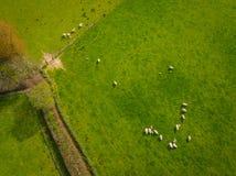 Gregge dell'antenna delle pecore Fotografie Stock Libere da Diritti