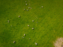 Gregge dell'antenna delle pecore Immagini Stock Libere da Diritti