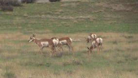 Gregge dell'antilope di Pronghorn che pasce sulla prateria Fotografia Stock