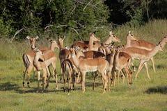 Gregge dell'antilope dell'impala - Sudafrica Fotografia Stock