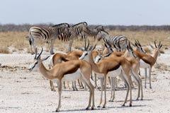 Gregge dell'antilope saltante e della zebra in Etosha Immagini Stock Libere da Diritti
