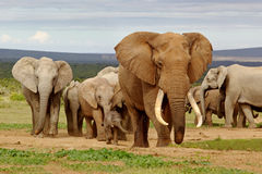 Gregge dell'elefante Fotografie Stock