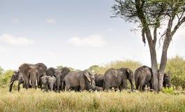 Gregge dell'elefante Immagine Stock Libera da Diritti