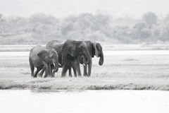 Gregge dell'elefante Fotografie Stock Libere da Diritti