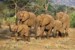 Gregge dell'elefante africano, fotografia stock
