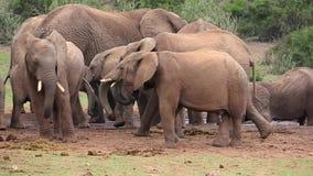 Gregge dell'elefante africano ad un foro di acqua stock footage