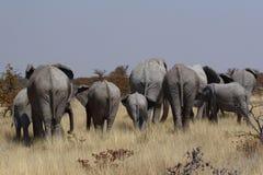 Gregge dell'elefante africano dalla parte posteriore in Namibia Fotografia Stock