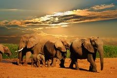 Gregge dell'elefante africano, loxodonta africana, delle età differenti camminante a partire dal foro di acqua, Addo Elephant Nat Fotografia Stock