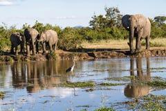 Gregge dell'elefante attraverso il foro di innaffiatura nel parco fotografia stock