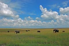 Gregge dell'elefante che cammina attraverso l'alta erba verde e gialla nella savana Fotografie Stock Libere da Diritti