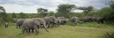 Gregge dell'elefante nella pianura di serengeti Immagini Stock