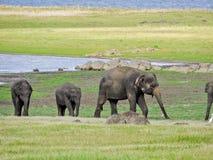 Gregge dell'elefante nello Sri Lanka Immagini Stock Libere da Diritti