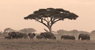 Gregge dell'elefante sotto l'acacia Fotografie Stock