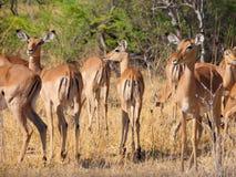 Gregge dell'impala Fotografia Stock