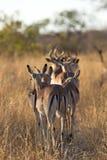 Gregge dell'impala che cammina lungo la strada Fotografia Stock Libera da Diritti