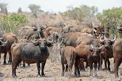 Gregge della Buffalo Immagini Stock Libere da Diritti