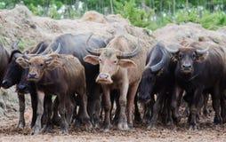 Gregge della Buffalo Immagine Stock