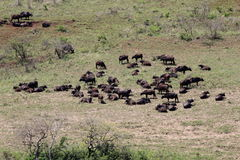 Gregge della Buffalo africana su paesaggio africano Immagini Stock Libere da Diritti