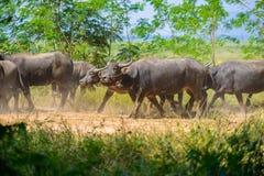 Gregge della Buffalo, mammiferi degli animali Fotografie Stock