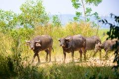 Gregge della Buffalo, mammiferi degli animali Fotografia Stock Libera da Diritti