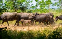 Gregge della Buffalo, mammiferi degli animali Immagine Stock Libera da Diritti