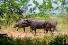 Gregge della Buffalo, mammiferi degli animali Fotografie Stock Libere da Diritti