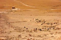 Gregge della capra in Giordania fotografia stock