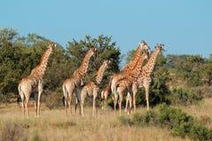 Gregge della giraffa Immagini Stock Libere da Diritti