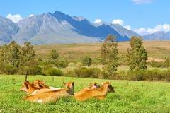 Gregge della mucca su erba in montagne Fotografie Stock Libere da Diritti