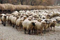 Gregge della raccolta delle pecore Fotografia Stock Libera da Diritti