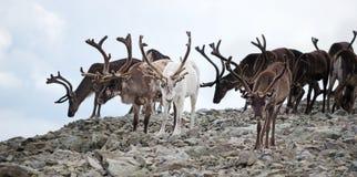 Gregge della renna Fotografia Stock