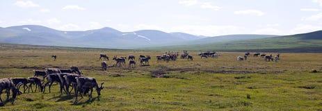 Gregge della renna che parte per i pascoli in Mongolia del Nord immagini stock