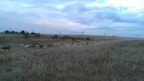 Gregge della Russia delle mucche Immagini Stock Libere da Diritti