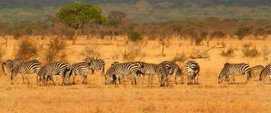 Gregge della zebra Fotografie Stock Libere da Diritti