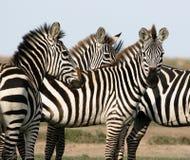 Gregge della zebra Immagini Stock
