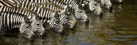 Gregge della zebra Fotografia Stock
