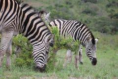 Gregge della zebra Fotografie Stock