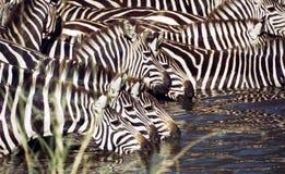 Gregge della zebra che ha una bevanda immagine stock libera da diritti