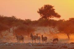 Gregge della zebra del ` s di Burchell al tramonto Immagini Stock
