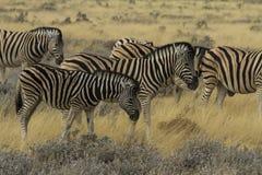 Gregge della zebra delle pianure nel parco nazionale Namibia di Etosha Immagine Stock