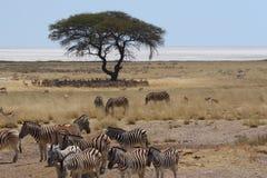 Gregge della zebra e dell'antilope saltante che stanno davanti alla pentola di Etosha Immagini Stock