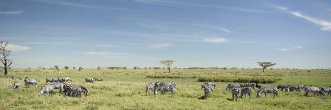 Gregge della zebra nel Serengeti Immagine Stock
