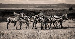 Gregge della zebra nella seppia Fotografia Stock Libera da Diritti