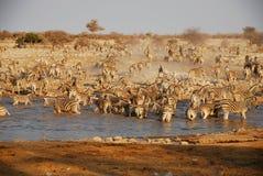 Gregge della zebra a waterhole Fotografia Stock Libera da Diritti