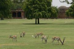Gregge delle antilopi del blackbuck su un campo in India Fotografie Stock