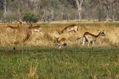 Gregge delle antilopi di Lechwe Immagini Stock Libere da Diritti