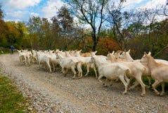 Gregge delle capre Immagine Stock