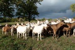 Gregge delle capre Fotografia Stock