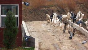 Gregge delle capre che corrono sulla strada verso l'azienda agricola archivi video