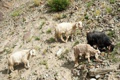 Gregge delle capre del Kashmir dall'azienda agricola indiana dell'altopiano Fotografia Stock